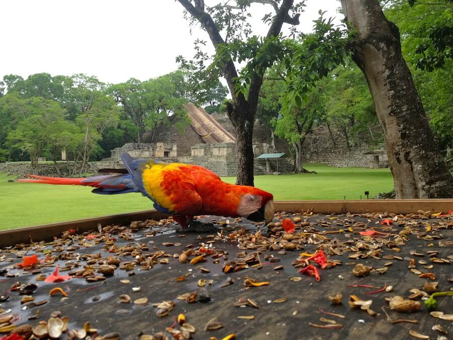 Red macaw eating at Copan