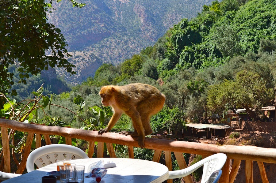 Monkey at a restaurant in Ouzoud Waterfalls