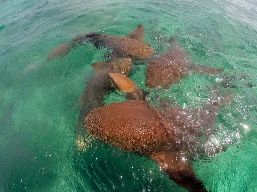 Nurse sharks in Caye Caulker, Belize