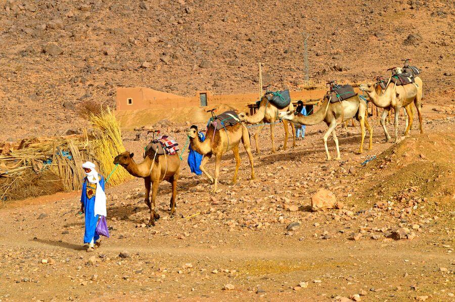 The camel caravan of the Sahara
