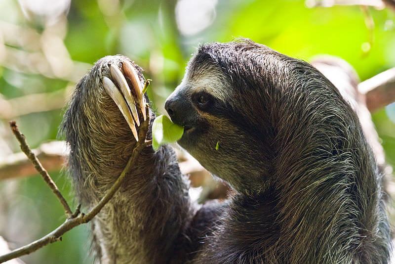 Sloth Fun Facts
