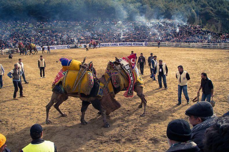 Camel Wrestling, Selçuk Turkey