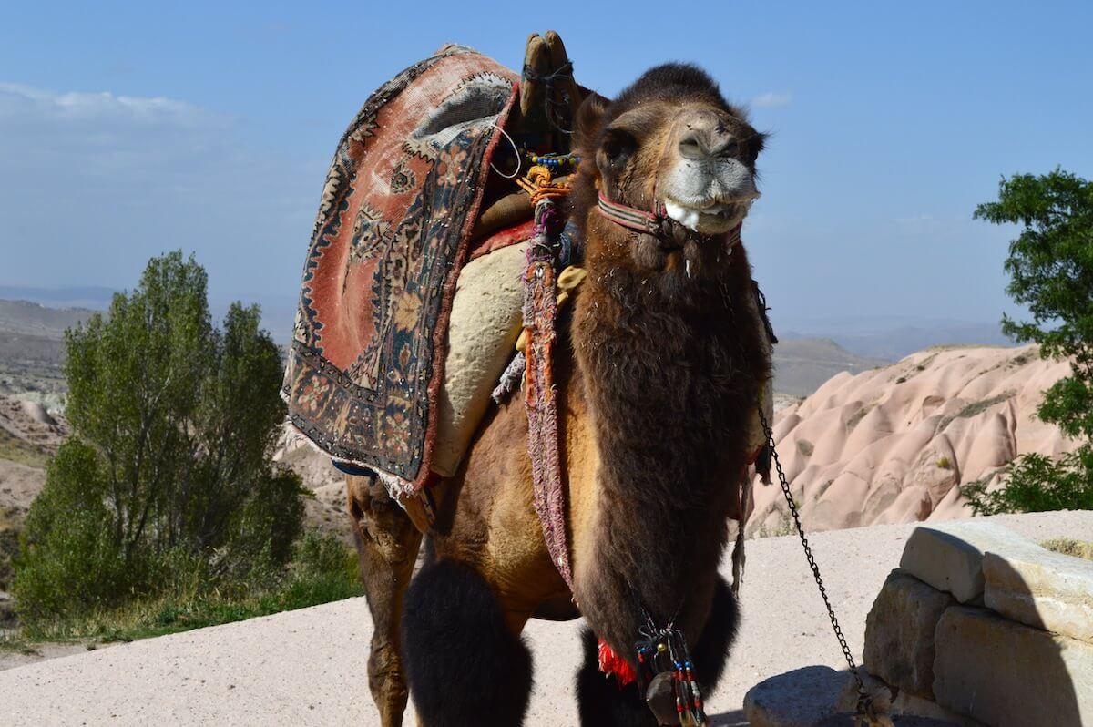 Lonely camel at Cappadocia