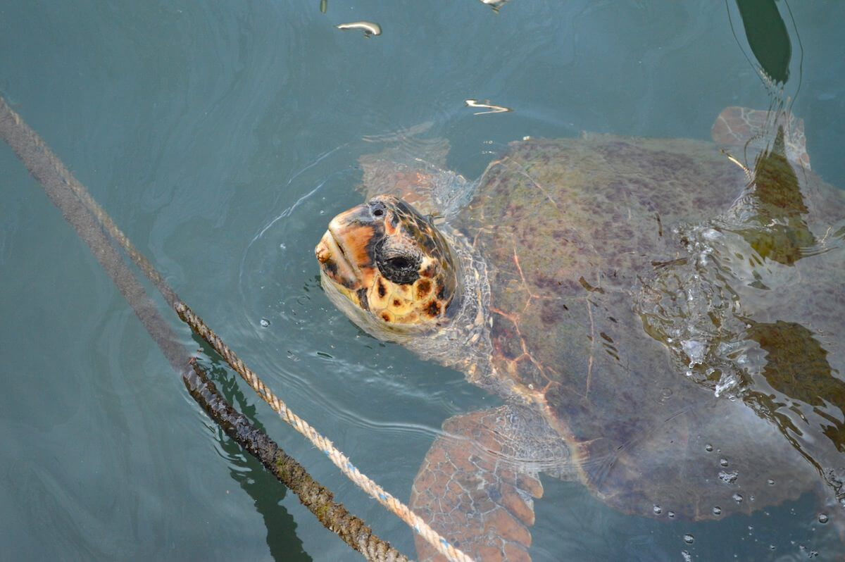 Sea Turtle at Fethiye