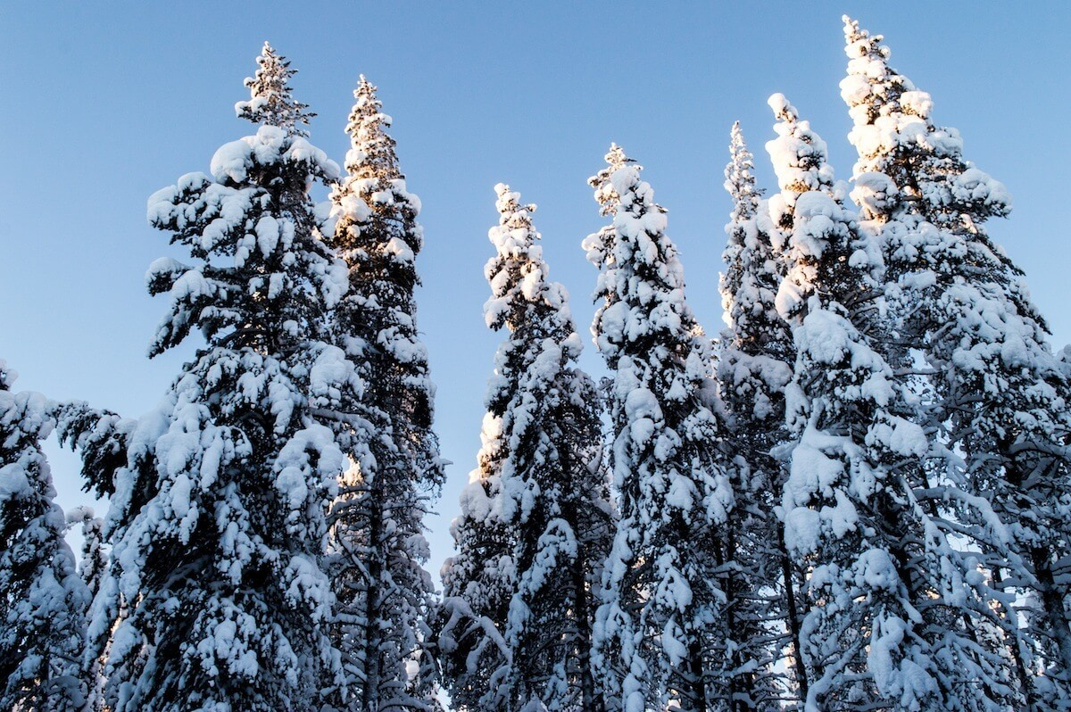 Christmas Trees in Lapland