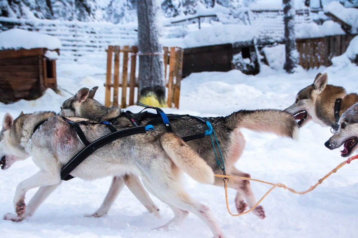 Husky Racing at Lapland