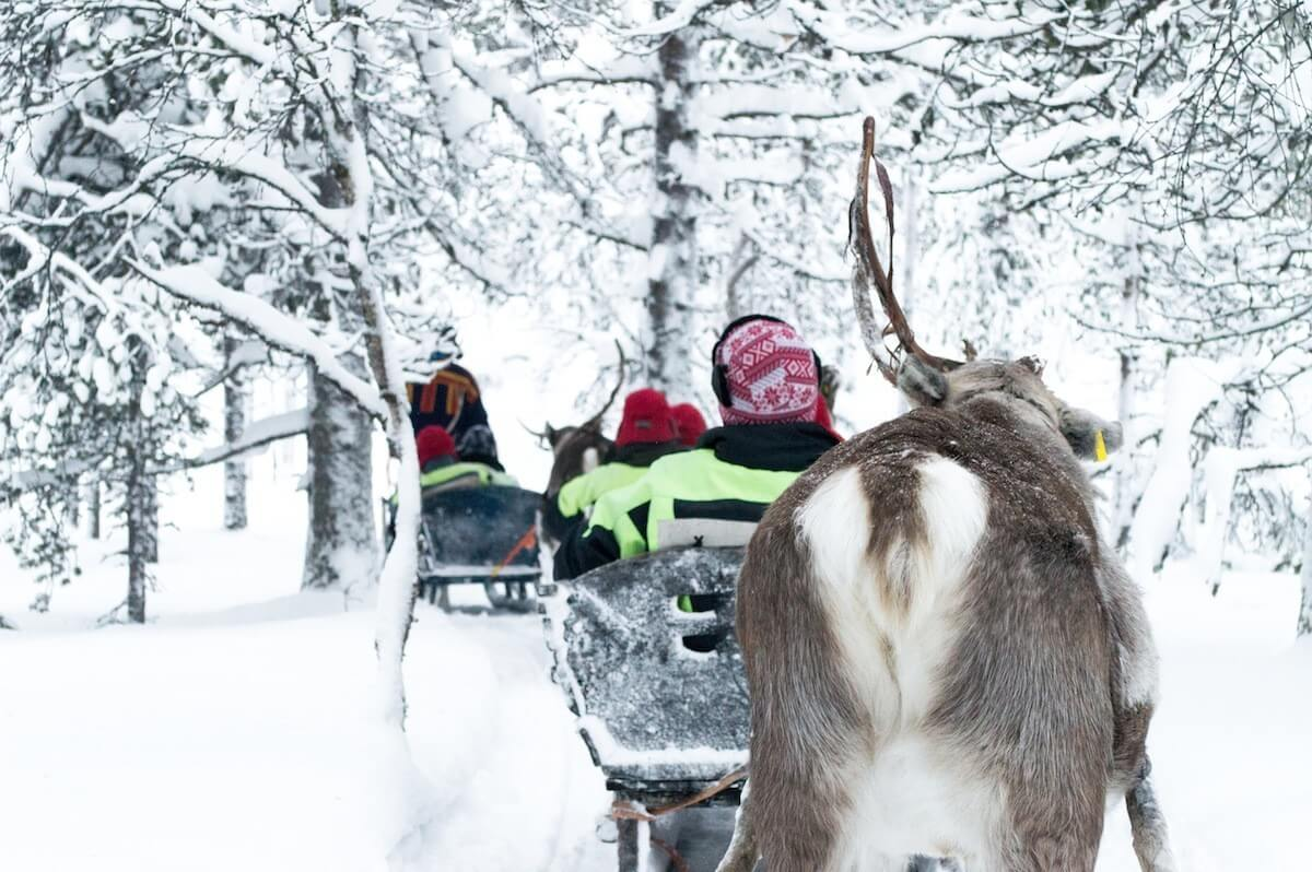 A Reindeer ride with the Sami