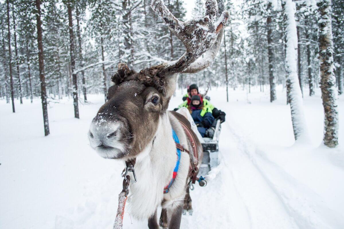 Reindeer ride in Saariselka