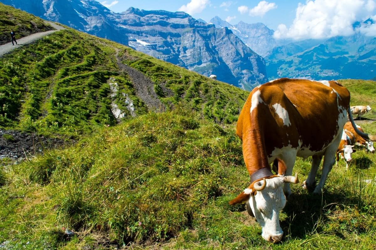 The Swiss Cows of the Jungfrau Region
