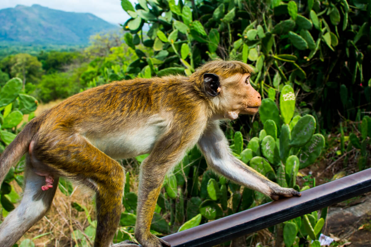 Friendly Monkeys at the Dambulla Cave Temple
