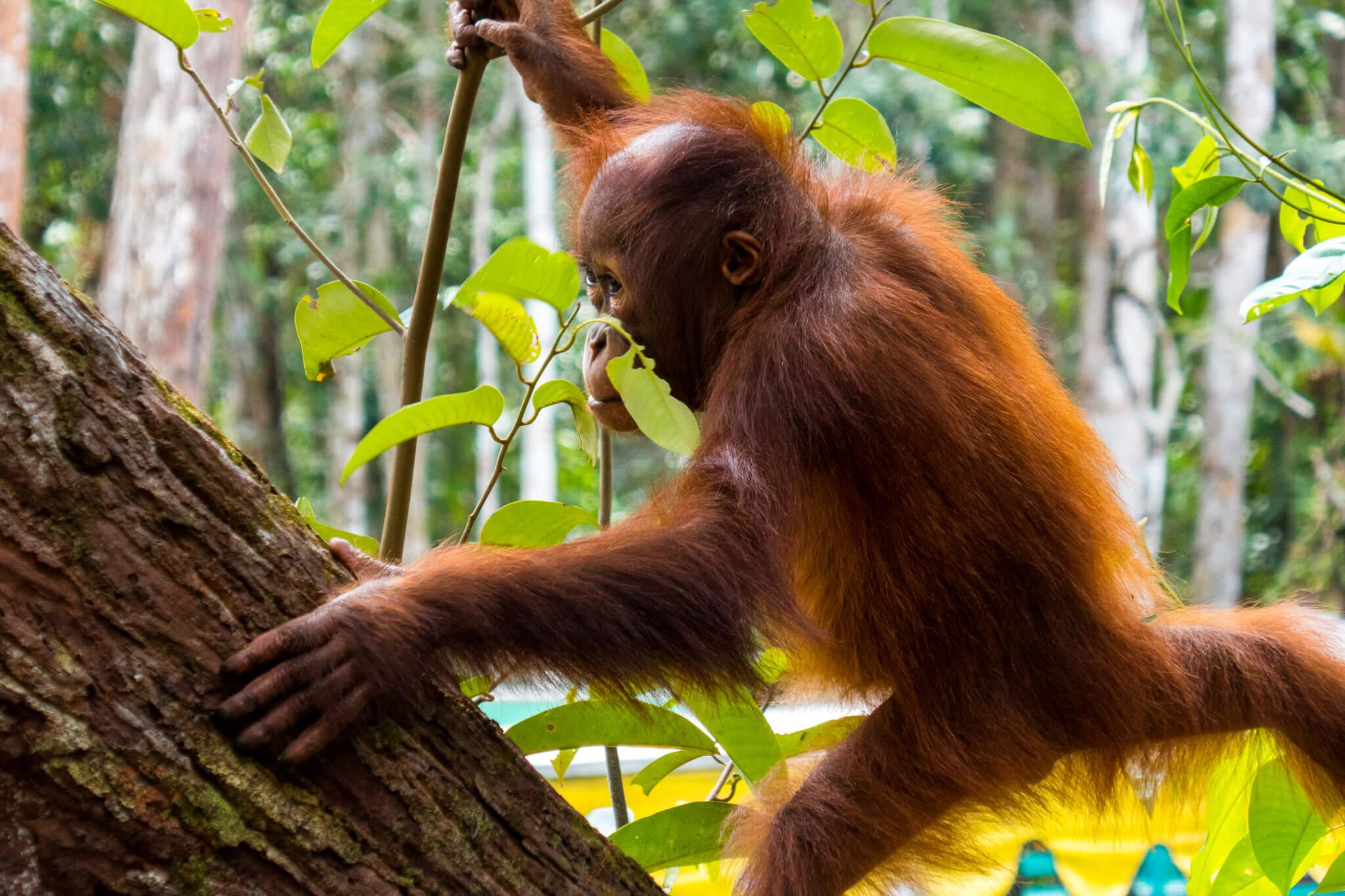 Baby Orangutan in Tanjung Puting, Borneo