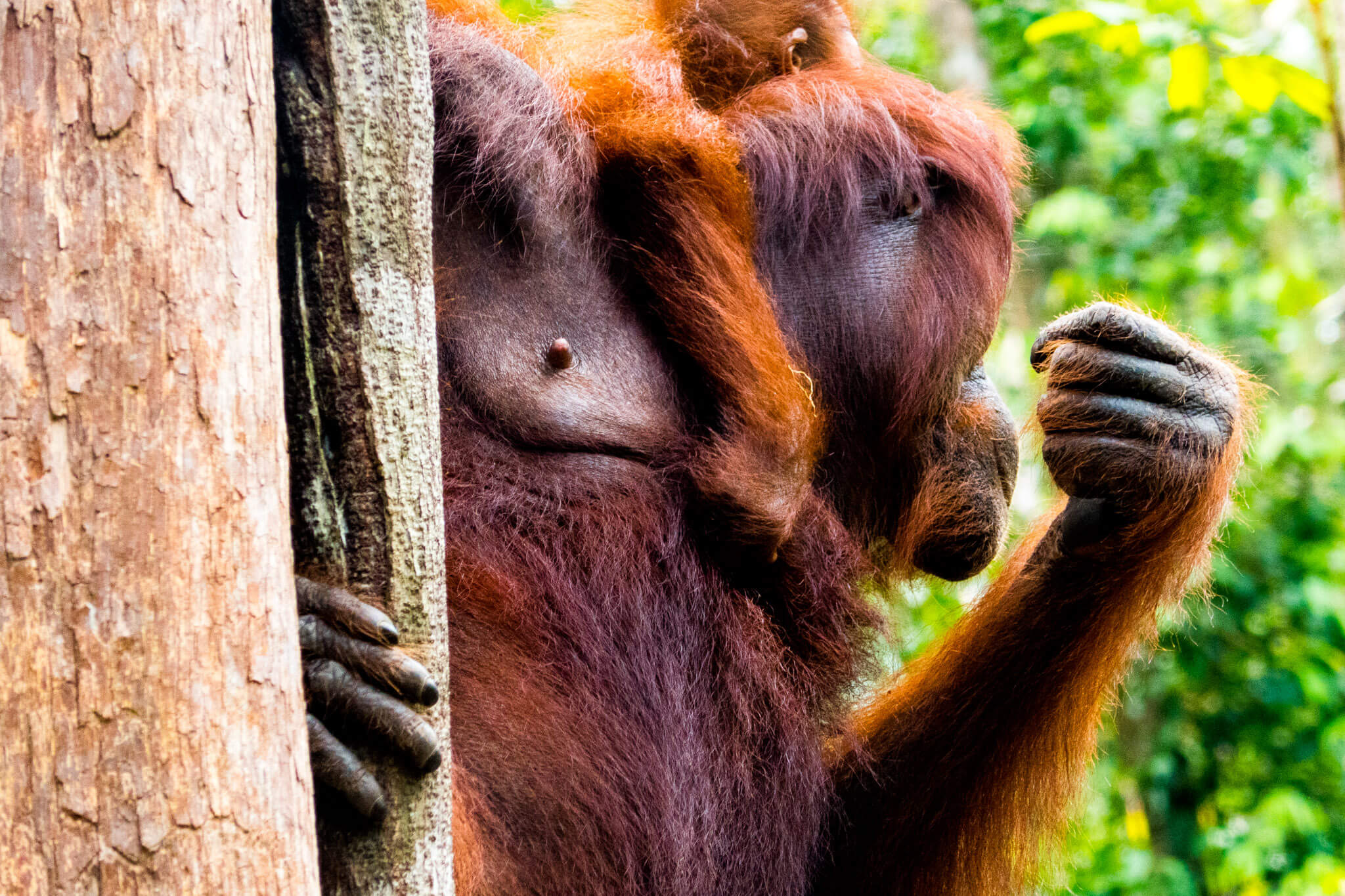 Two orangutans climbing a tree in Tanjung Puting, Borneo